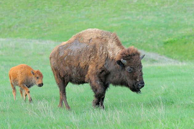 A Wildlife Expert Made The Same Grave Mistake As Those Yellowstone Bison
