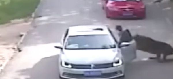 Shocking Video Shows Tiger Attack That Led To Woman's Death