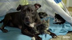 Pit Bull Rescued From Dog Fighting Ring Now Cuddles