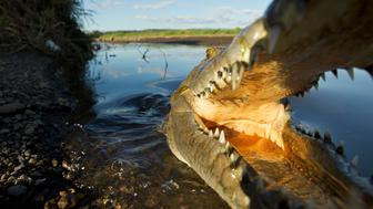 Costa Rica, Tarcoles, Wide-angle view of American crocodile (Crocodylus acutus) basking in afternoon sun along muddy banks of Tarcoles River