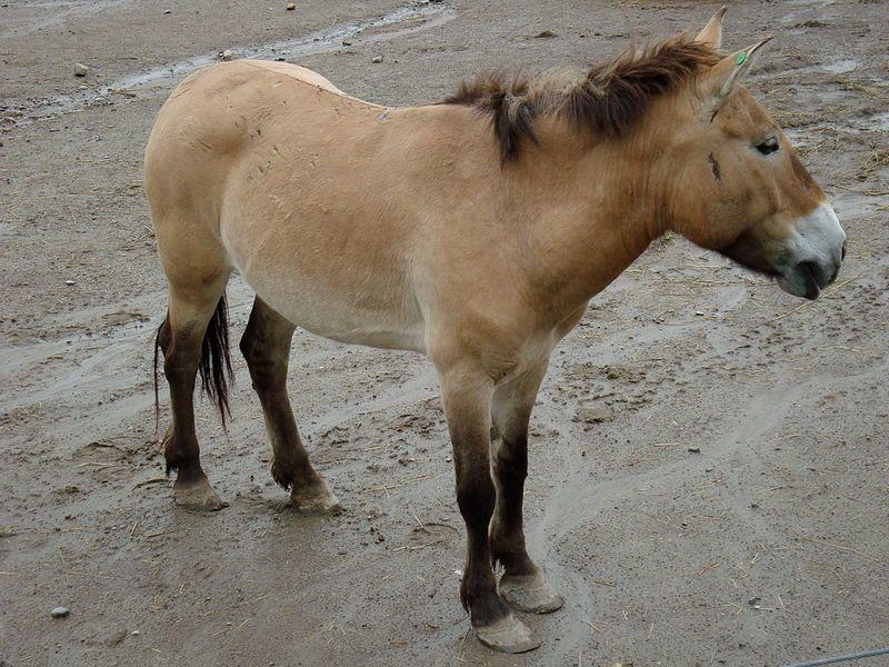 Prized Pezwalski horse