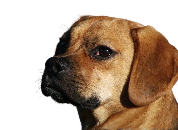 This is a file photo of a puggle, a cross between a beagle and a pug. A 5-year-old puggle died after being left inside a hot