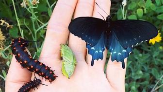 Scientist Tim Wong repopulated an entire butterfly species in his backyard.