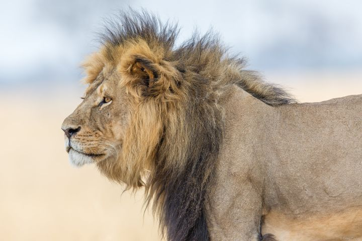 The lion population plummeted 43 percent over a period of 21 years to 2014, according to theInternational Union for the Conservation of Nature.