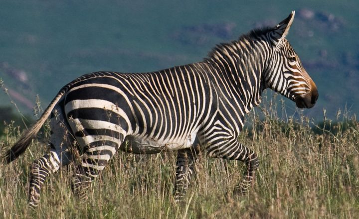 Threatened mountain zebras are at risk fromthreats including agriculture and hunting.