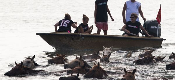 Hundreds Of Wild Ponies Make A Splash During Annual Swim Fundraiser