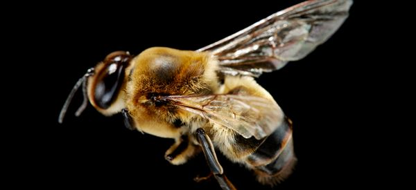 The World's Most Popular Insecticide Could Be Making Male Bees Infertile