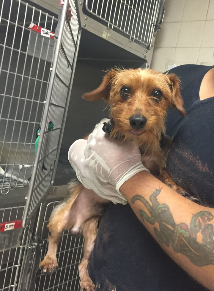 Pit Bull And Yorkshire Terrier Rescued From Hot Bubbling