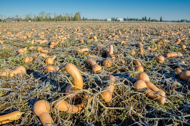 This Oregon farmer, having already met his contract, had a massive surplus of butternut squash. The squash appeared destined