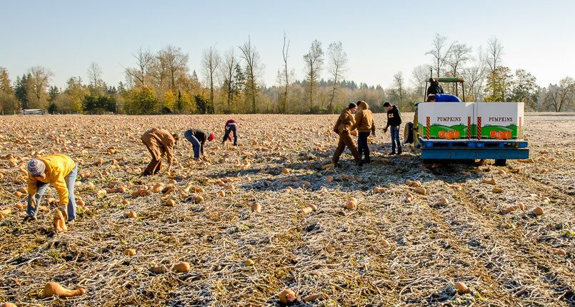 Volunteers with Salem Harvest collected 130,000 pounds of butternut squash that would have otherwise rotted in the field.