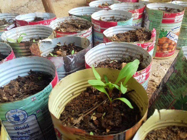 Seedlings in old food ration tins from the World Food Program.