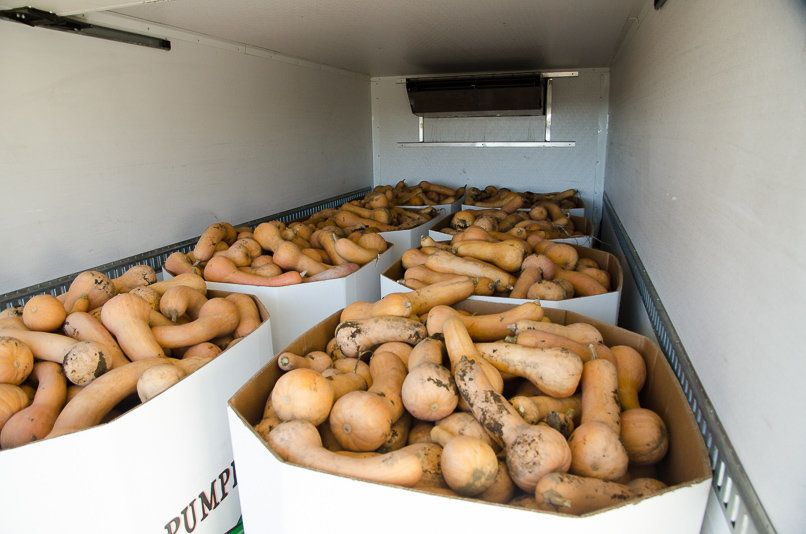 Volunteers with Salem Harvest collected 18 truckloads of butternut squash, all of it bound for food banks throughout the regi