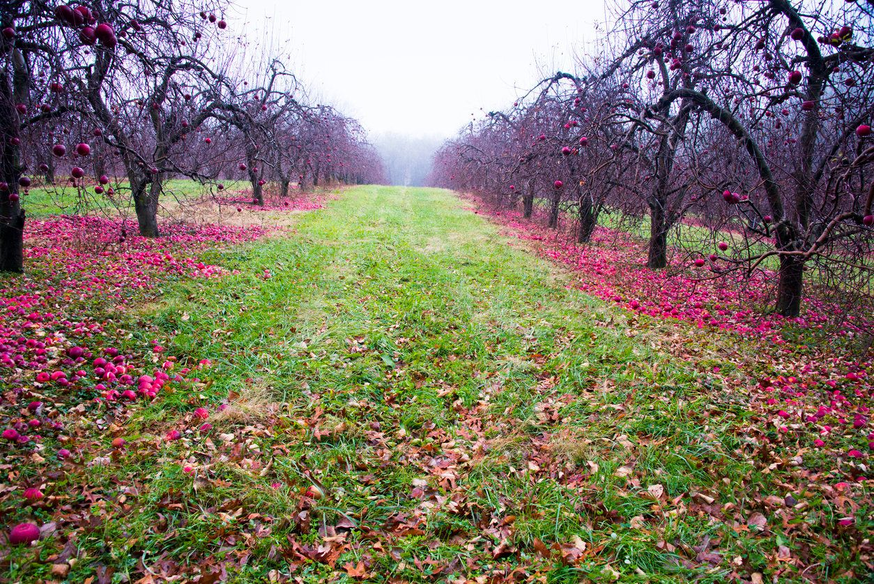 Apples left the ground at a North Carolina orchard. Ohio and a few other states have programs to get leftover crops dona