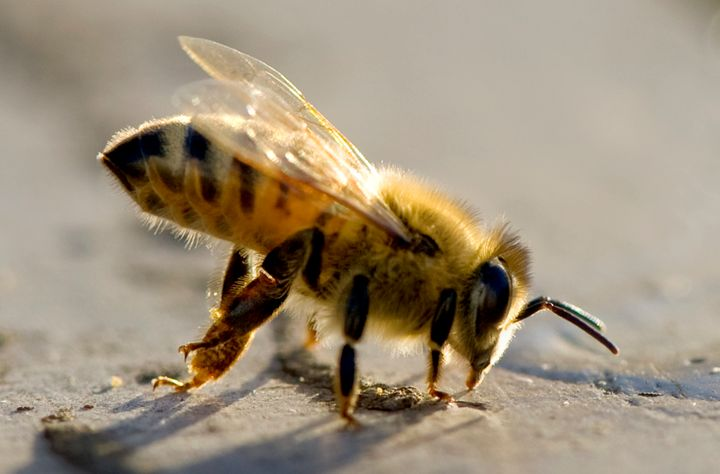 A male drone bee cleans his legs atop a hive.
