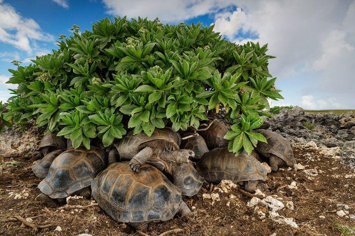 Giant tortoises take shelter beneath vegetation on Aldabra, part of the Seychelles Islands.