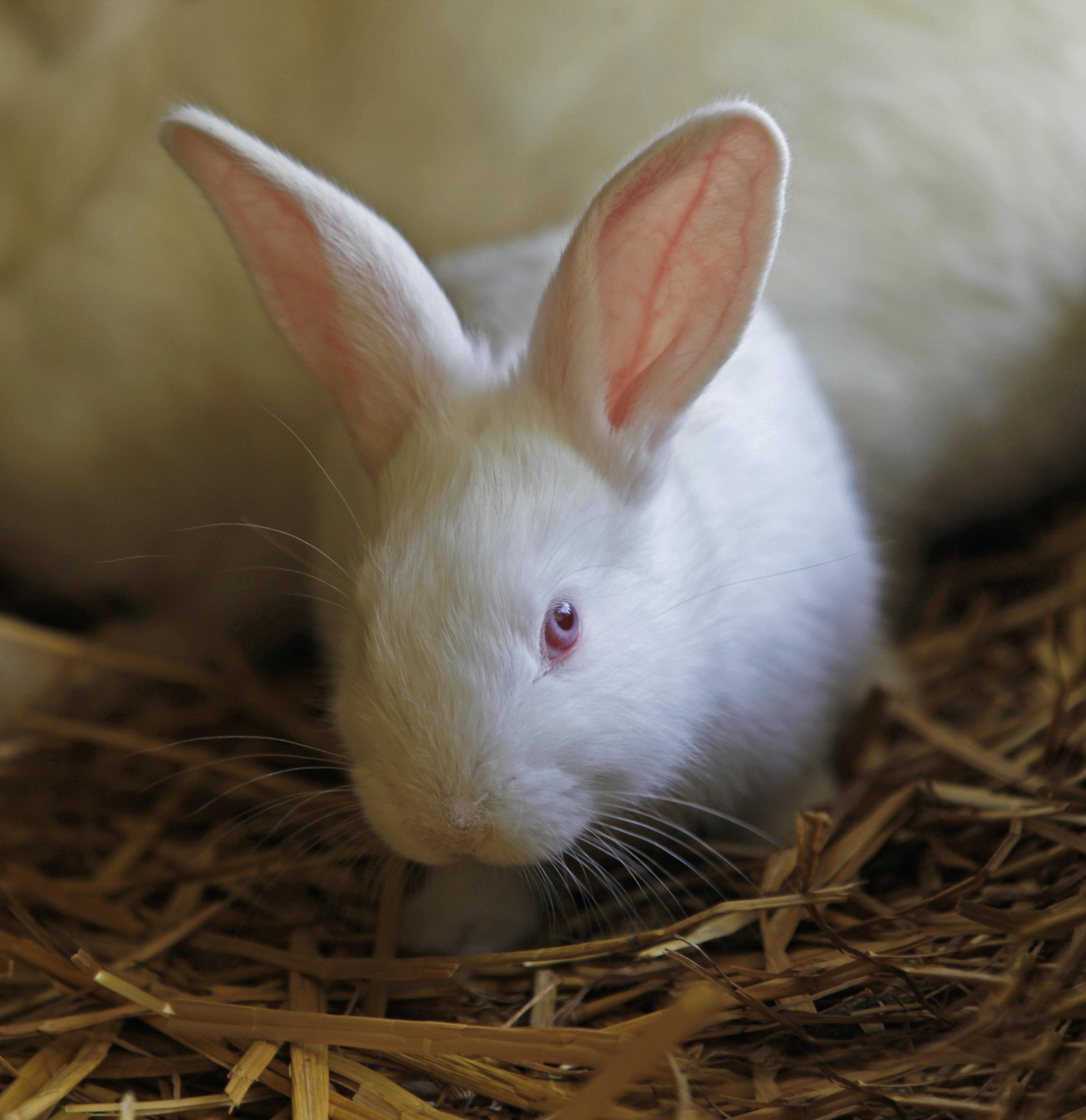 A small white rabbit