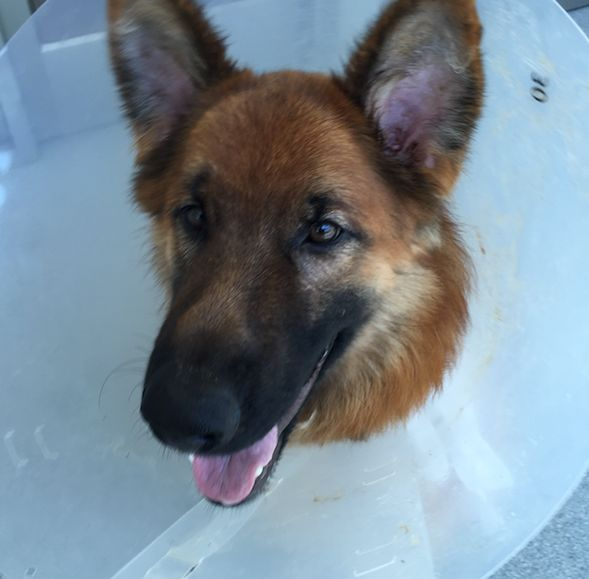 Maverick looking paw-some after surgery.
