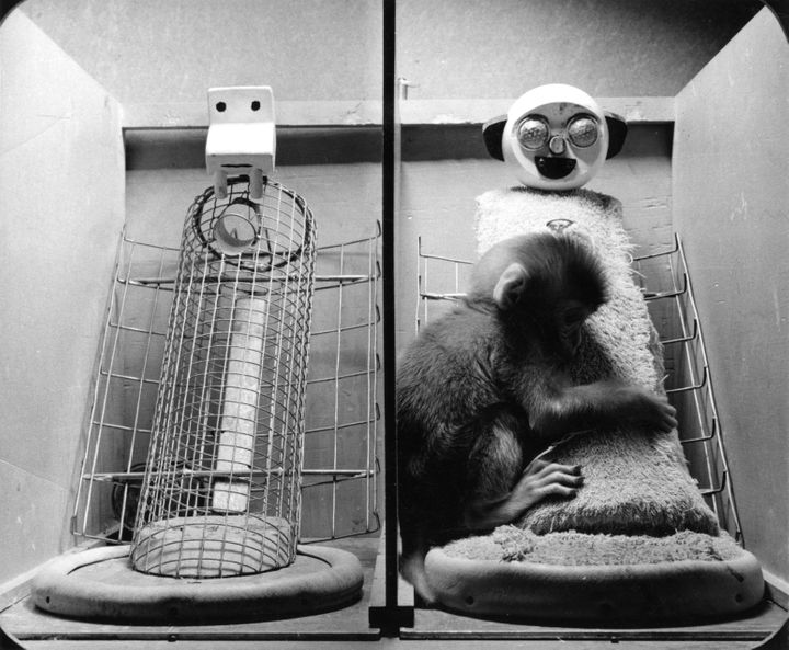 In Harry Harlow's experiment, infant monkeys almost always chose to cuddle with the cloth figure, and made contact with