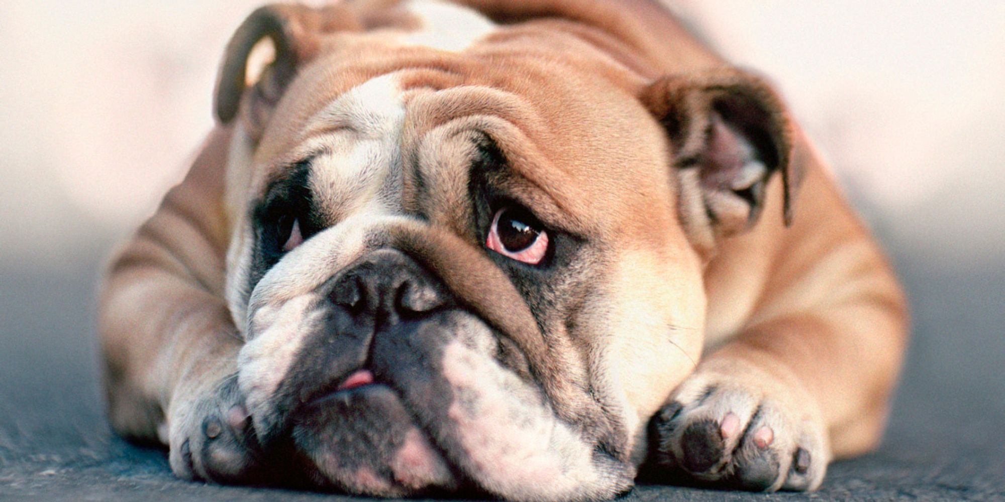The Health Of English Bulldogs May Never Improve Due To ...