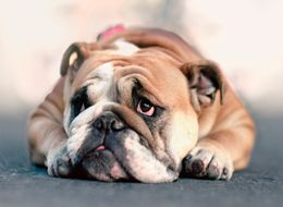 The Health Of English Bulldogs May Never Improve Due To Years Of Inbreeding, Study Finds
