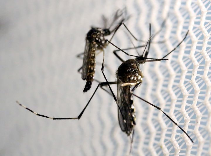 Aedes aegypti mosquitoes are seen inside Oxitec laboratory in Campinas, Brazil, February 2, 2016.