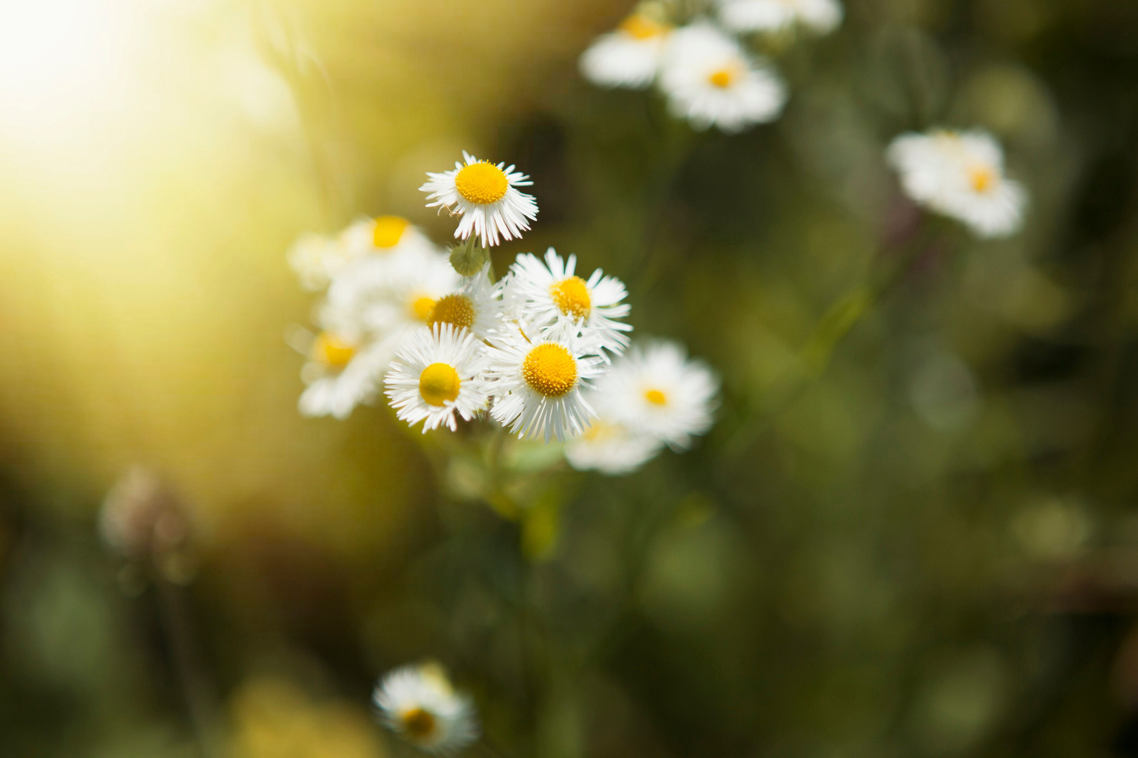 Close up of daisies outdoors