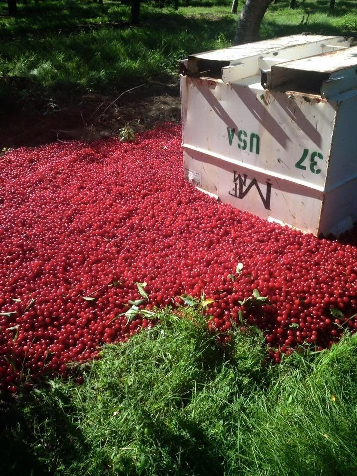 Marc Santucci, owner of Santucci Farms, shared a photo on Facebook of the massive amount of tart cherries he is throwing away this year under industry regulations.