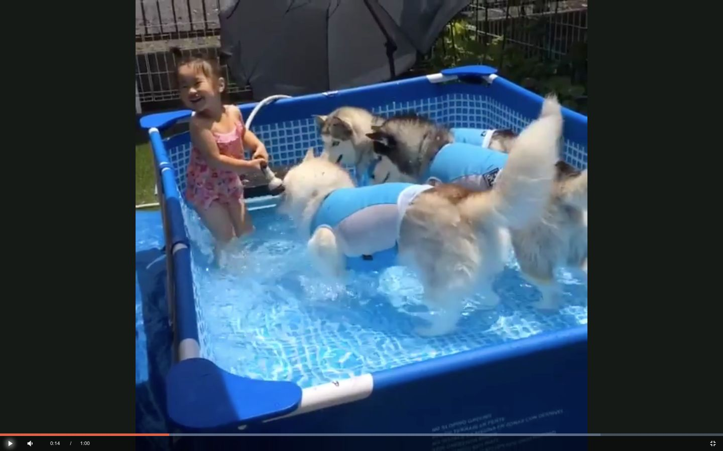 An adorable little girl appears to be having the time of her life while playing with three huskies in a swimming pool.