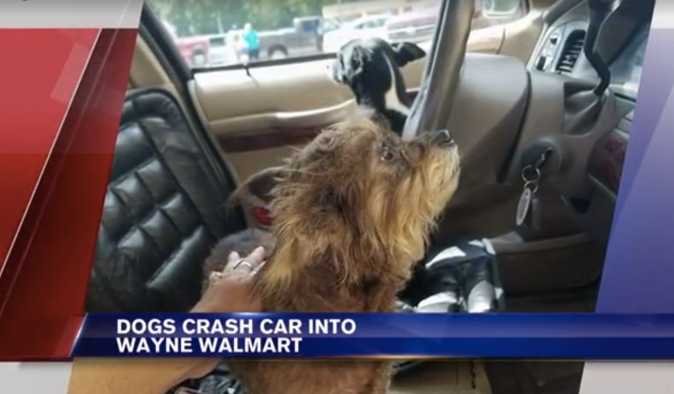 Woman Leaves Dogs In Car, Dog Crashes Car Into