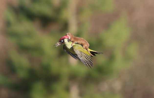 The wily weasel catches a ride on the back of a