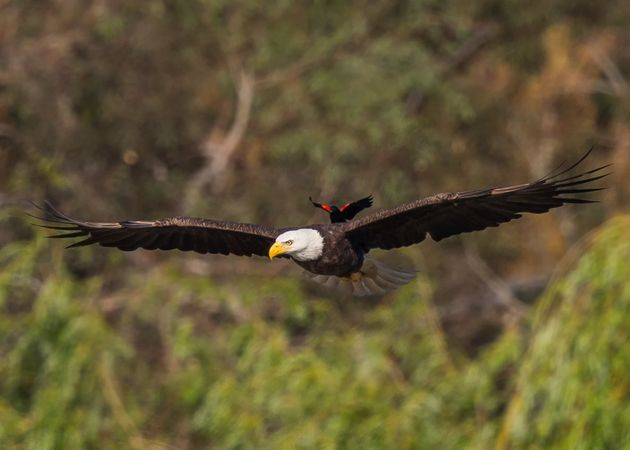The red-winged blackbird casually catches a ride on the back of the American bald eagle in