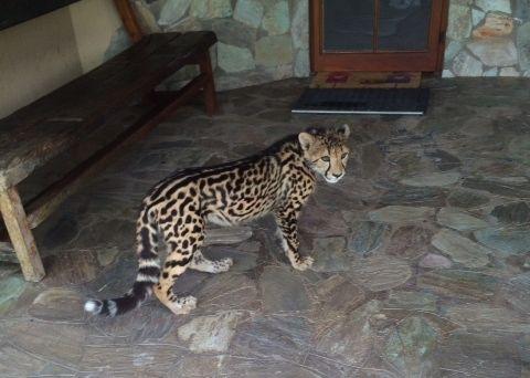 Cheetahs lounge on a compound porch