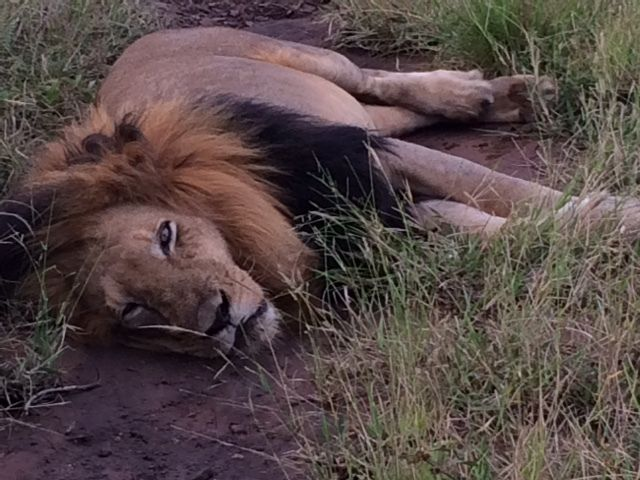 A rescued lion rests after a kill