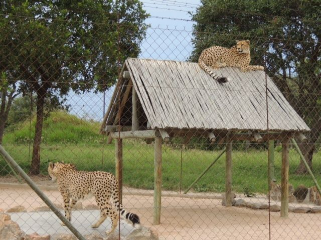 Rescued cheetahs can be observed up close