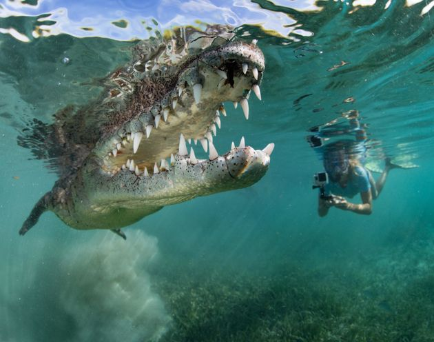 The eight-foot-long reptile opened its mouth, flashing a glimpse of its razor-sharp