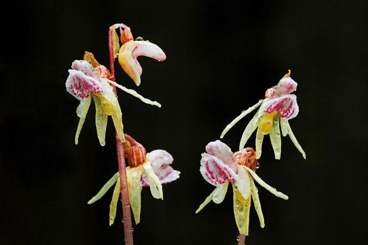 Ghost orchid (<i>Epipogium aphyllum</i>)