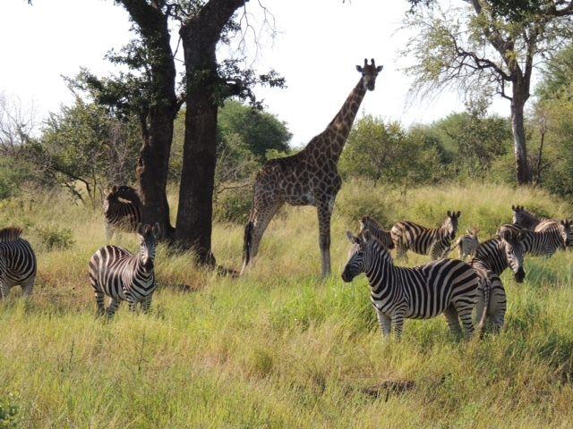 Game drives pass giraffes and zebras