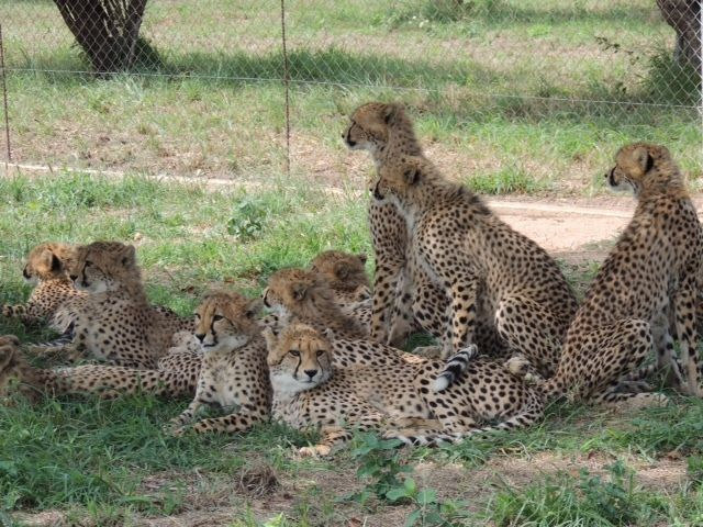 Young cubs frolic in the cheetah nursery
