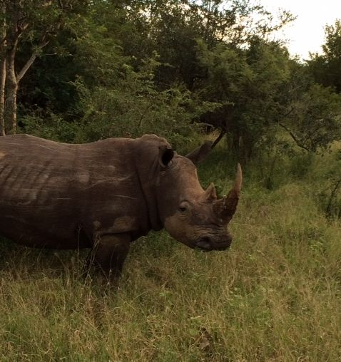 Rescue rhinos reside in the camp