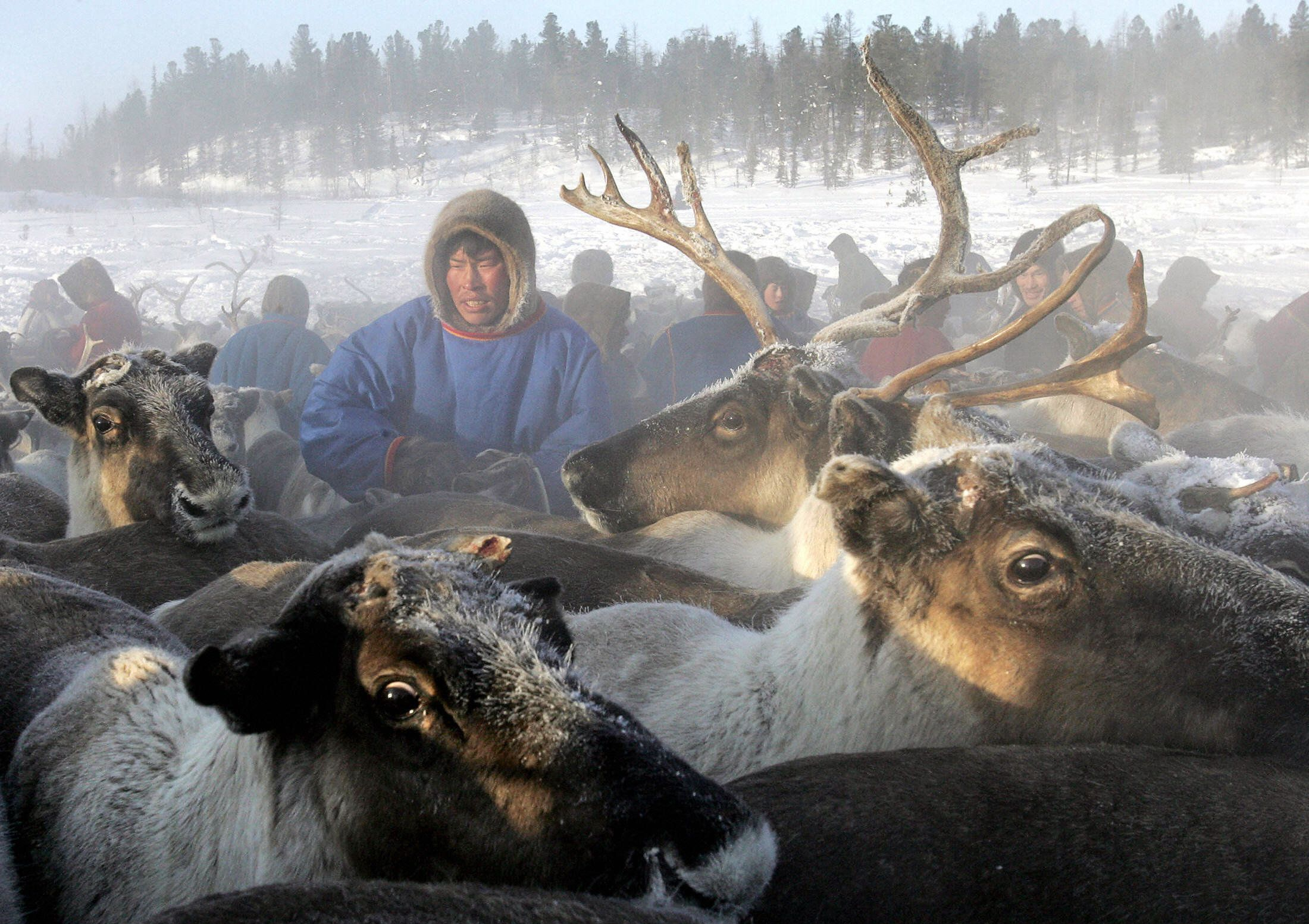 NADYM, RUSSIAN FEDERATION:  A Nenets herdsman gathers his reindeer as they prepare to leave a site outside the town of Nadym, 3,800 km North-East of Moscow in Siberia to find a new place for stay, 14 March 2005. The Nenets people live in snow and freezing temperatures some 260 days of the year and are mainly nomadic reindeer herdsmen. AFP PHOTO / TATYANA MAKEYEVA  (Photo credit should read TATYANA MAKEYEVA/AFP/Getty Images)