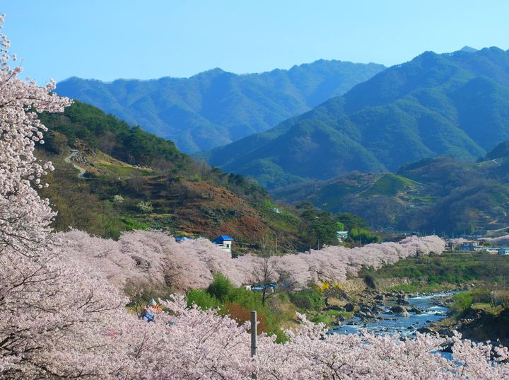 """<p><strong>Hwagae's Cherry Blossom Road 