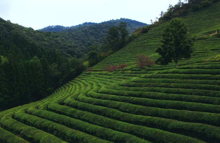 """<p><strong>Boseong Green Tea Fields 