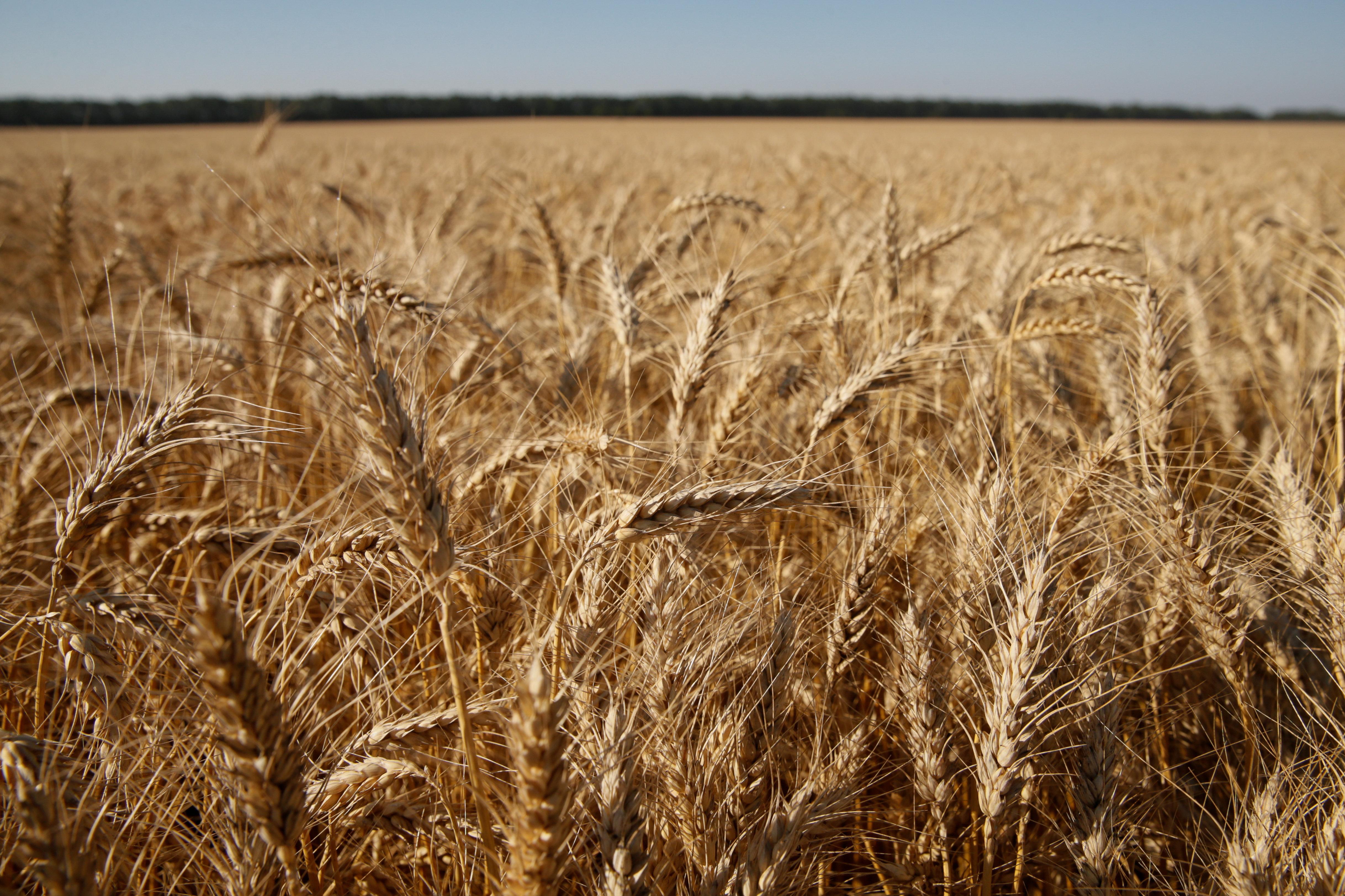 A wheat field is pictured near the village of Zhovtneve, Ukraine, July 14, 2016.  REUTERS/Valentyn Ogirenko