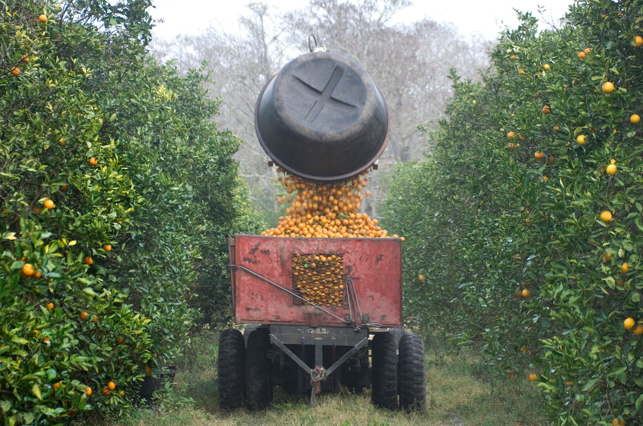 Mechanical truck arm picks up and empties full tubs of picked oranges.
