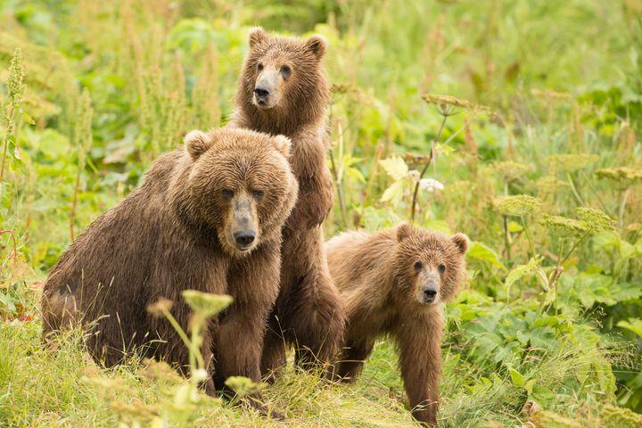 """Brown bear and cubs on <a href=""""https://www.fws.gov/refuge/kodiak/"""" target=""""_blank"""">Kodiak National Wildlife Refuge.</a>"""