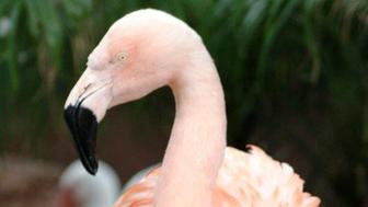 A Chilean flamingo named Pinky is pictured in Busch Gardens, in Tampa Bay, Florida in this undated handout photo. Pinky which was known for its dancing was euthanized at a Florida theme park after being badly injured by a man who reached into its pen and threw it to the ground, Tampa police said on August 3, 2016.  Busch Gardens Tampa Bay/Handout via REUTERS  ATTENTION EDITORS - THIS IMAGE WAS PROVIDED BY A THIRD PARTY. EDITORIAL USE ONLY