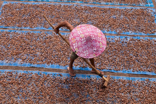 Raking out cocoa beans to dry in the Indonesian