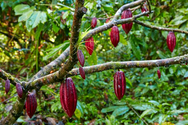 Red cocoa pods ripening on a cocoa