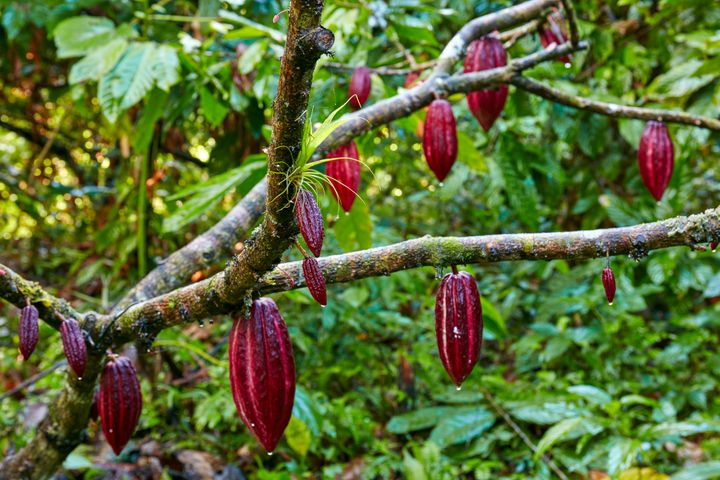 Red cocoa pods ripening on a cocoa tree.