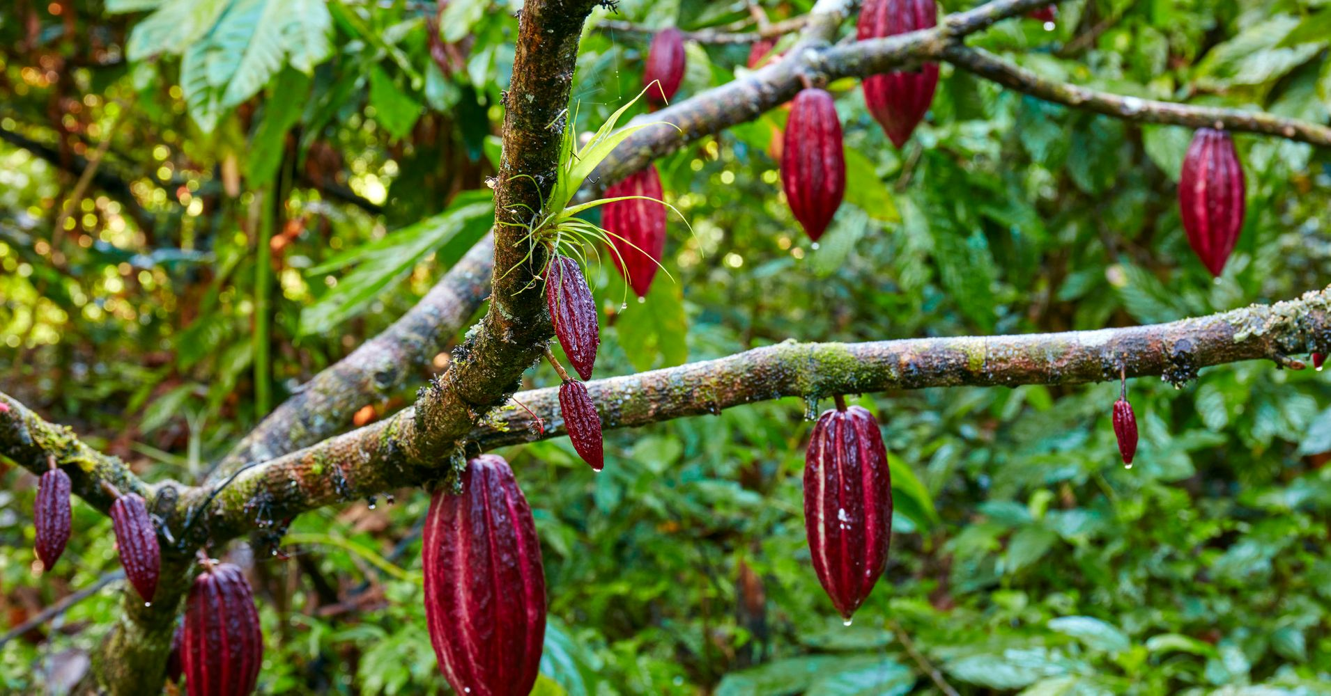 How Cocoa Beans Grow And Are Harvested Into Chocolate Huffpost